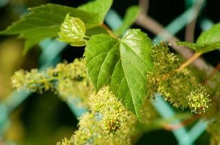 Grapevine_in_flower