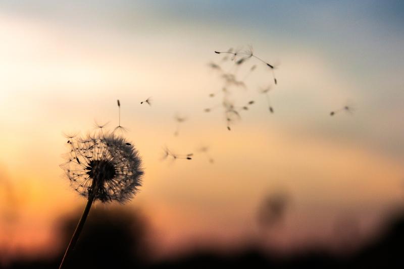 Dandelion dawid-zawila-279998-unsplash