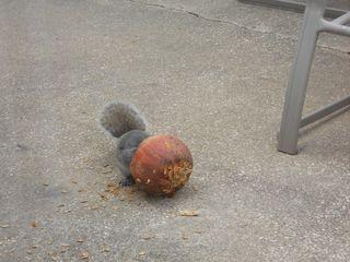 Pumpkinhead squirrel