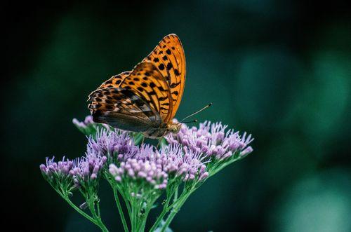 Butterflyonpurple flowers