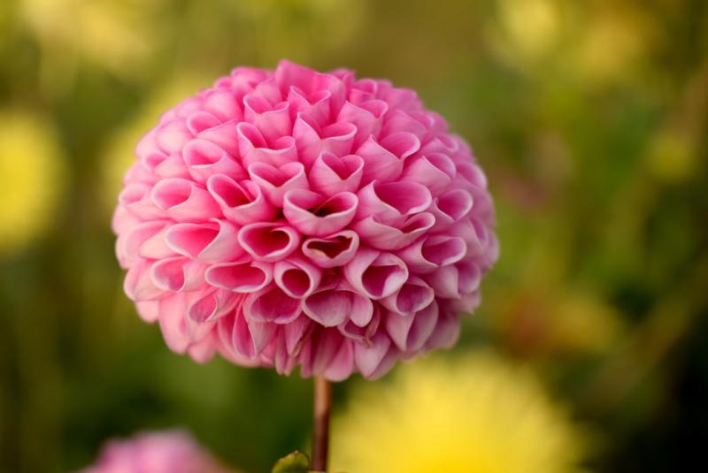 Buddingflower