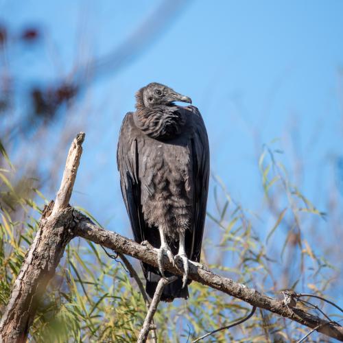 Vulture trac-vu-B0uQWCc8KlE-unsplash